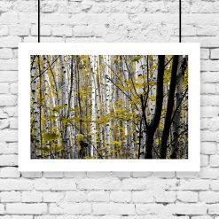 plakat z brzozowym lasem na ścianę