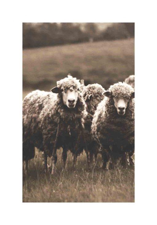 owce w sepii na plakacie w ramie