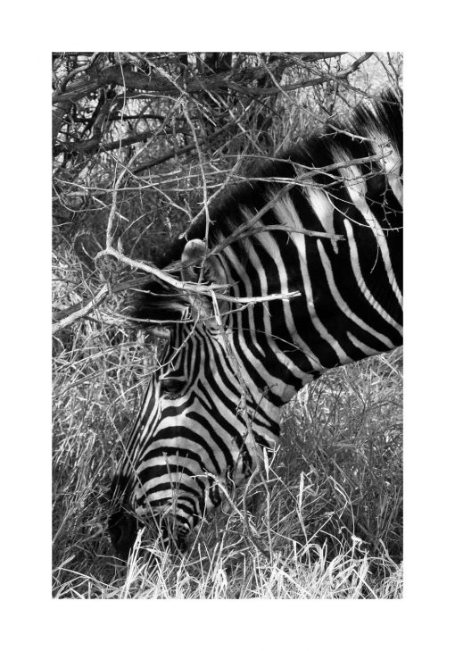 Plakat z zebrą