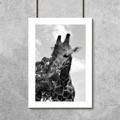 Plakaty w szarościach z żyrafą