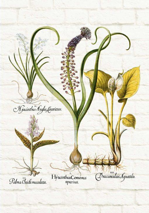 Botaniczny plakat - Hiacynt