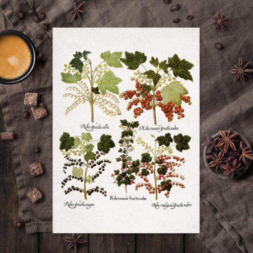 Botaniczny plakat boho z porzeczkami do kuchni