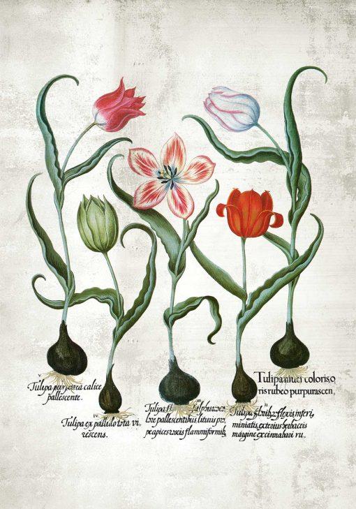Czerwone tulipany - Plakat dla botanika do kuchni
