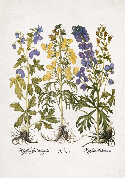 Edukacyjny plakat botaniczny - Tojad mocny do jadalni