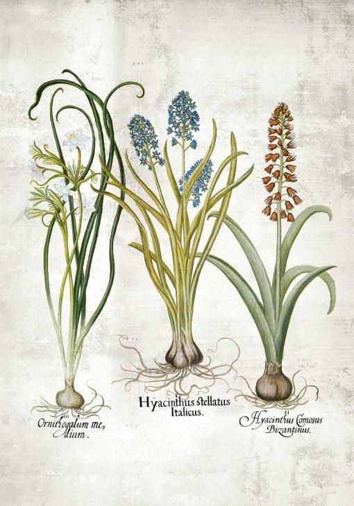 Edukacyjny plakat botaniczny z narcyzem do szkoły