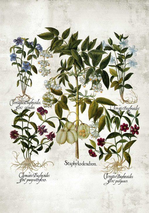 Plakat botaniczny - Powojnik do kuchni