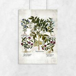 Plakat botaniczny - Powojnik do przedpokoju