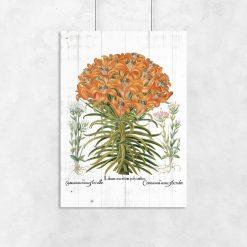 Plakat botaniczny z lilią pomarańczową do biura