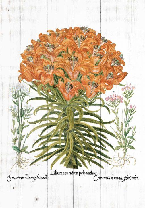 Plakat botaniczny z lilią pomarańczową do jadalni