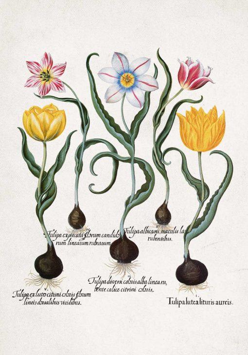 Plakat botaniczny z tulipanami do jadalni