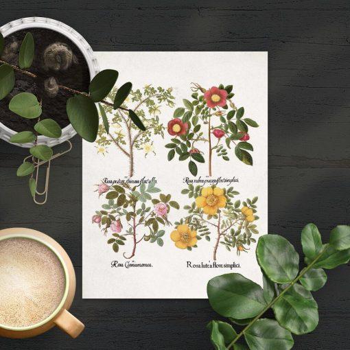 Plakat cztery odmiany róż drobnolistnych - pomoc naukowa