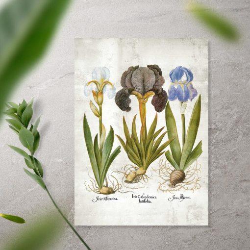 Plakat edukacyjny z kwiatami - kosaćce