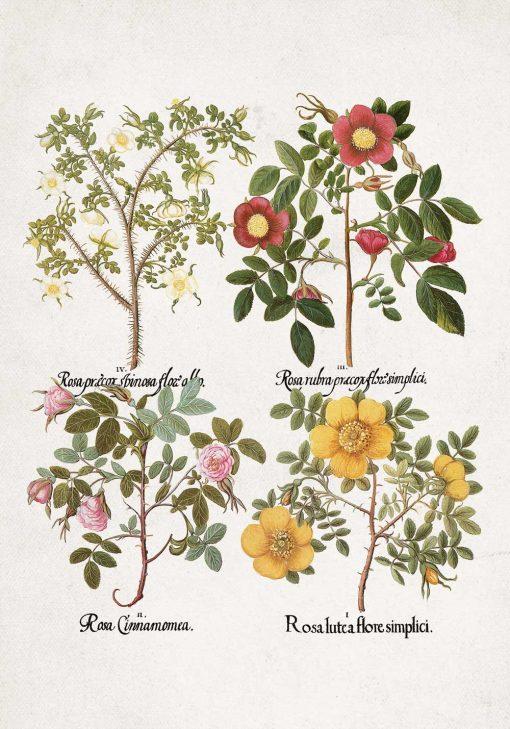 Plakat nazwy łacińskie róż do dekoracji szkoły