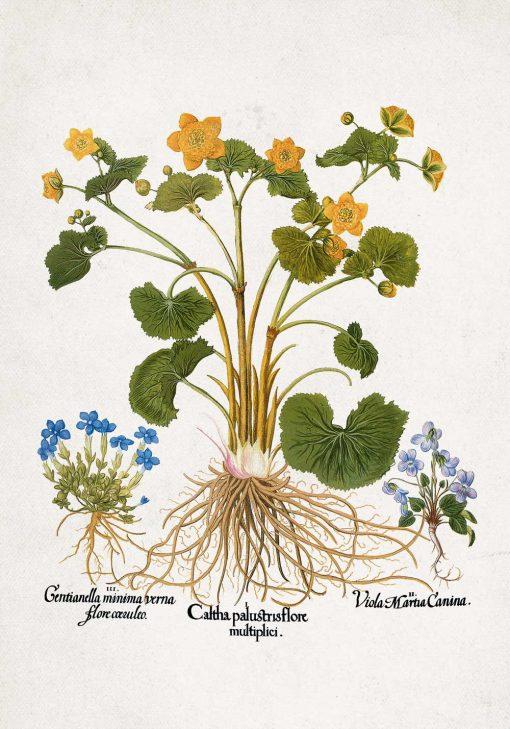Plakat prowansalski z goryczką wiosenną do kuchni