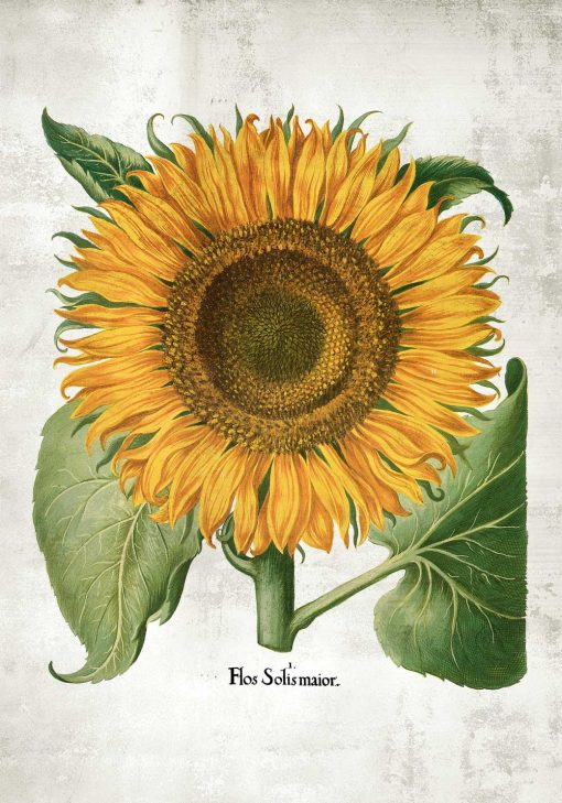 Plakat roślina słońca - słonecznik