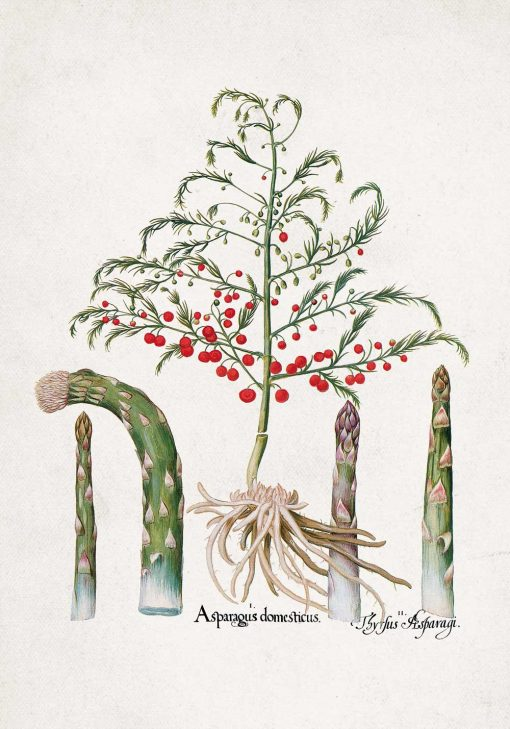 Plakat z asparagusem pierzastym