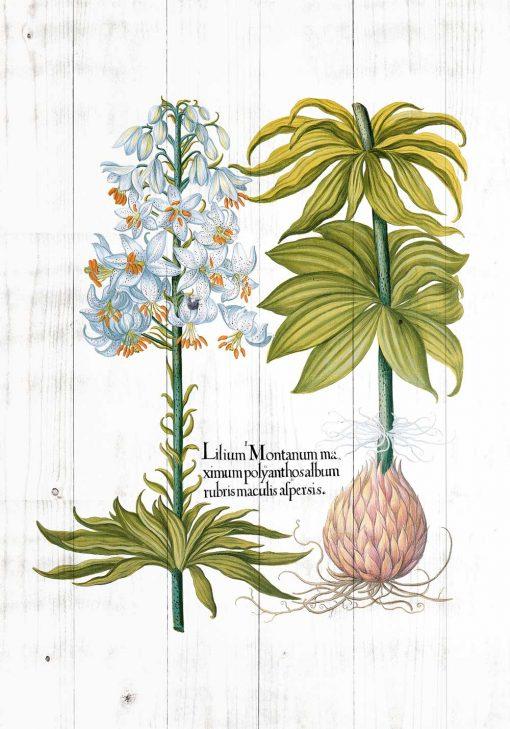 Plakat z białą lilią i nazwą po łacinie