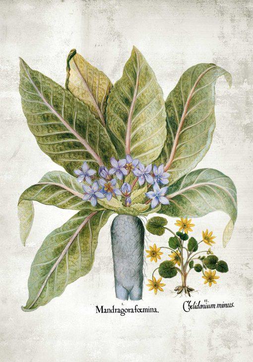 Plakat z korzeniem mandragory i belladonną