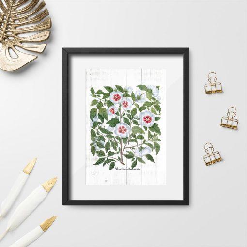 Plakat z kwiatami malwy i łacińska nazwą