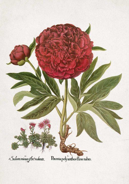Plakat z motywem piwonii i rozchodnika
