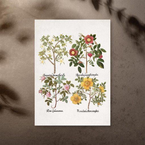 Plakat z nazwami łacińskimi róż jako pomoc naukowa