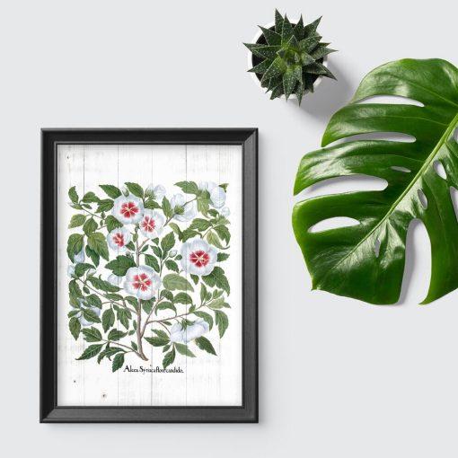Plakat z rośliną leczniczą