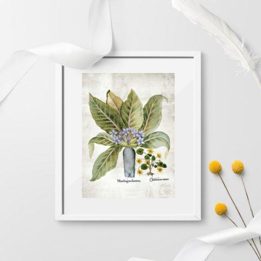 Plakaty rośliny legendy - mandragora i belladonna