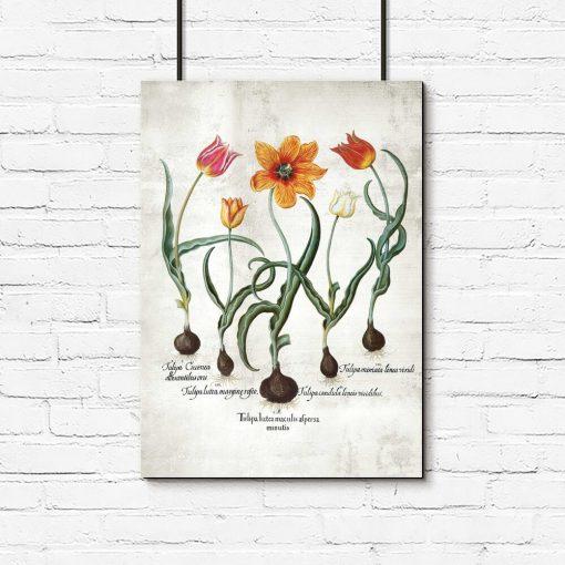 Płomienne tulipany - Plakat z łacińskimi nazwami do gabinetu