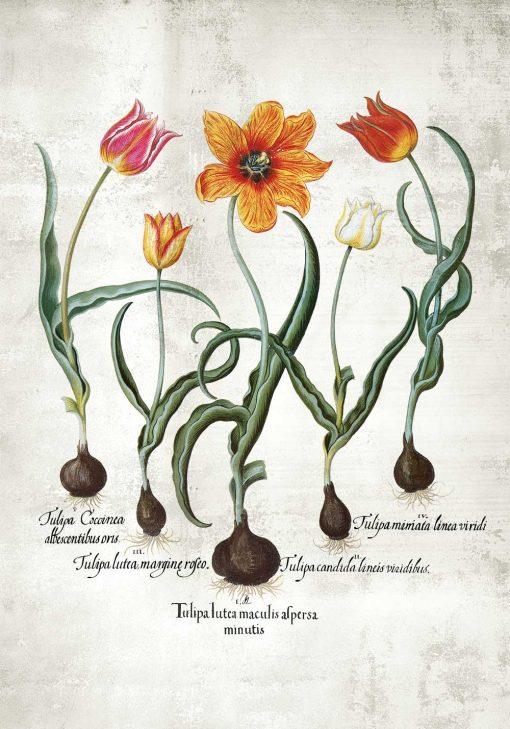 Płomienne tulipany - Plakat z łacińskimi nazwami do jadalni
