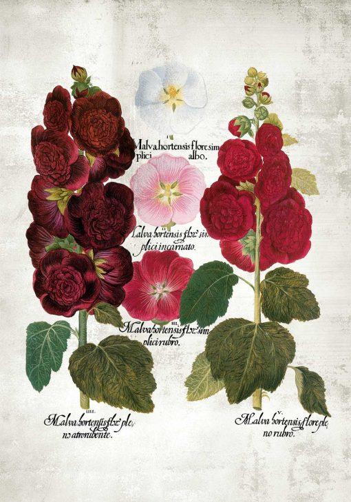 Plakat gatunki malw i łacińskie nazwy