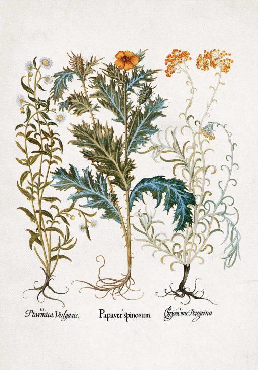 Plakat rośliny z polskich łąk i ich nazwy łacińskie