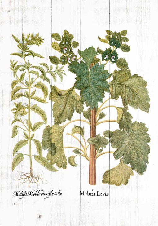 Plakat z motywem melisy na tle drewna bielonego