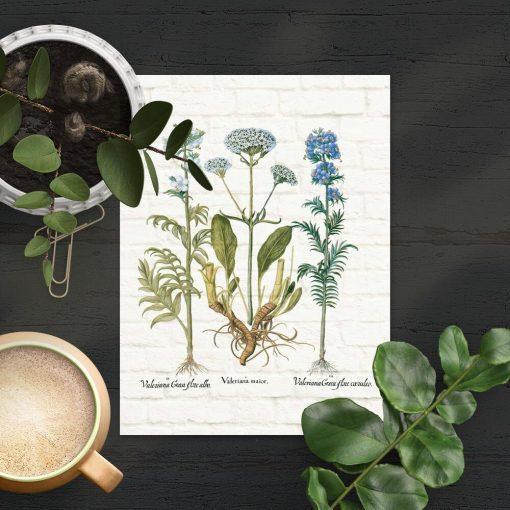 Plakat z motywem rośliny leczniczej i łacińskich napisów
