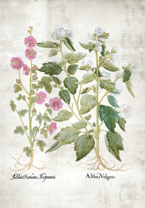 Plakat z motywem różowej i białej malwy