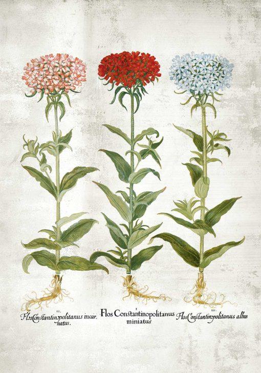 Plakat z trzema floksami i łacińskimi nazwami